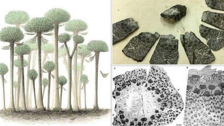 الشجرة الأكثر تعقيدا في العالم.. عمرها 374 مليون عام