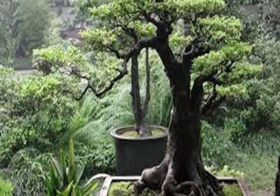 بيع شجرة نادرة مقابل أكثر من مليون دولار في فيتنام