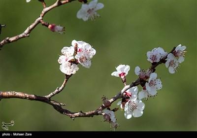 موسم الربيع في ''أردبيل'' (شمال غرب إيران)