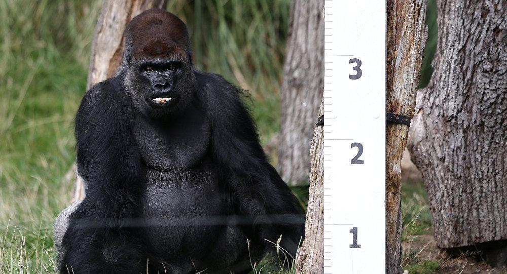 نفوق إحدى أكبر الغوريلات سنا في العالم عن عمر 60 عاما