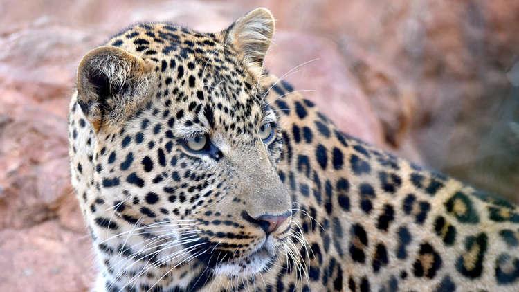 أكثر من 20 كاميرا خفية لتعقب الفهود في أوسيتيا الشمالية
