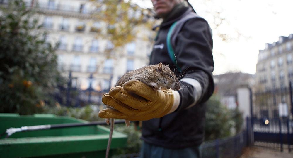فئران ضخمة بوزن 9 كيلوغرام تهدد ولاية كاليفورنيا الأمريكية