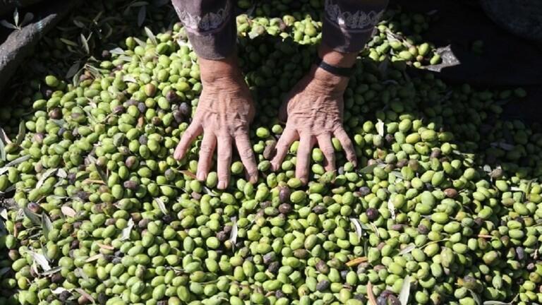 مستوطنون يسرقون محاصيل الفلسطينيين من الزيتون
