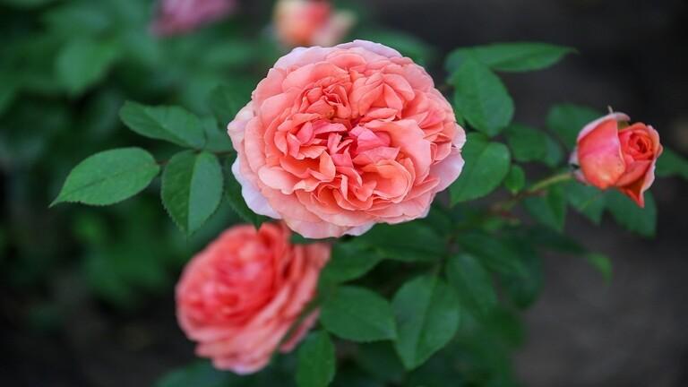 اليونيسكو تدرج الوردة الشامية والنخلة في قائمة التراث العالمي الإنساني