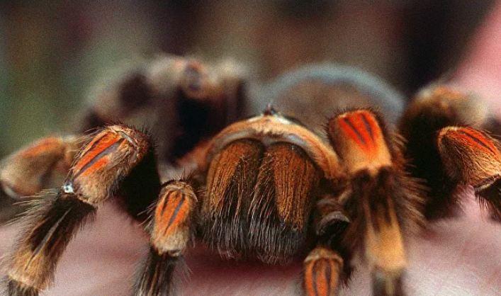 بعد اختفاء أكثر من ربع قرن... أحد أكثر عناكب بريطانيا خطورة يعود للظهور