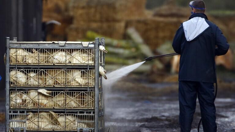 حظر التجول في مزارع ووحدات الإنتاج الحيواني بكوريا الجنوبية لمكافحة إنفلوانزا الطيور