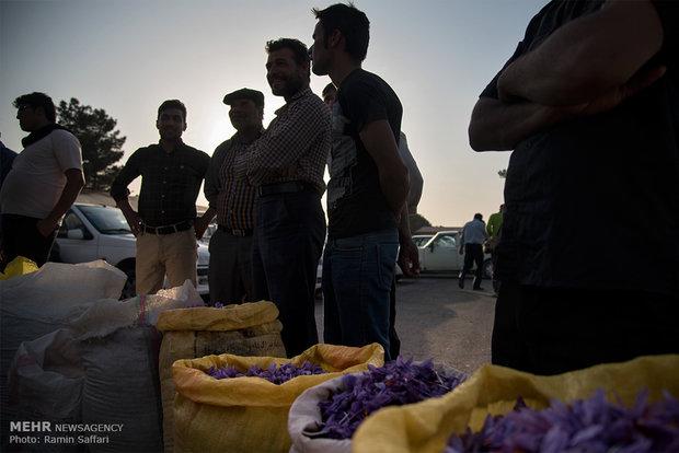 saffron harvest in iran