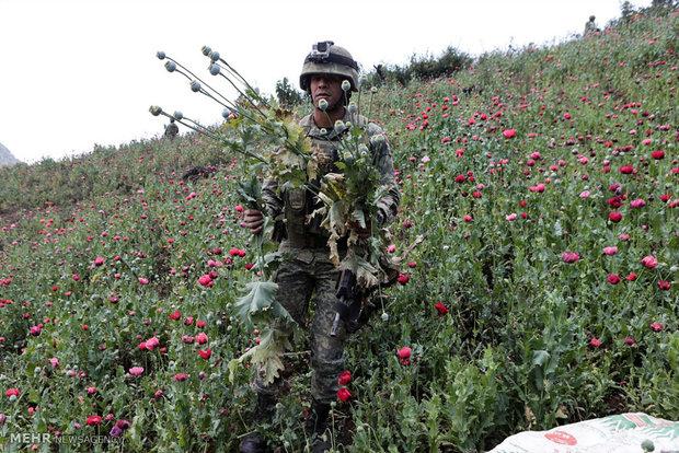 Fighting poppy in Mexico
