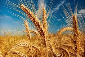 Iran stockpiles 12 mln tons wheat