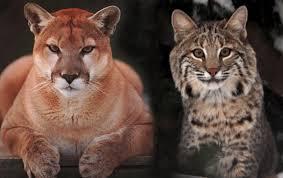 Mountain lion, bobcat visit California home