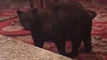 Bear wanders through lobby of Colorado hotel