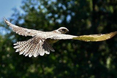 Study of hawks' pursuit of prey could help scientists capture rogue drones