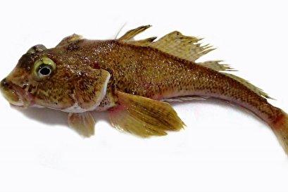 Fish adaptations in Antarctica mirror the development of human bone disease