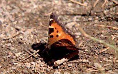 Millions of butterflies swarm Lake Tahoe