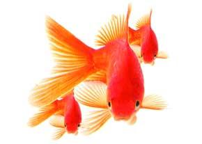 راهنمایی خرید ماهی قرمز
