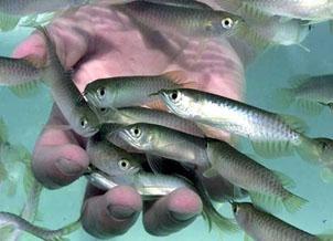 تولید 3 هزار و 546 تن ماهی قانعکننده نیست