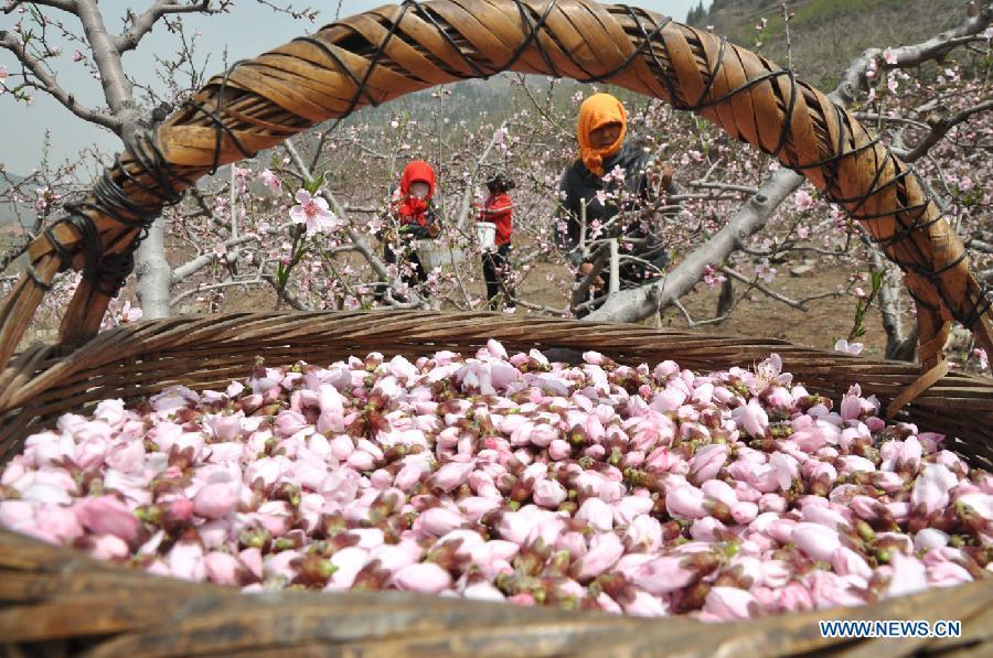 تصويري/ جمع آوري شکوفه هاي هلو در چين