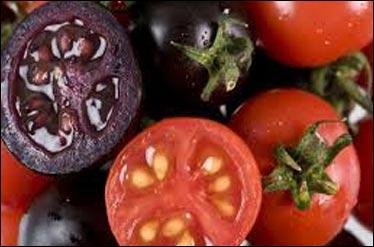 گوجه فرنگیهای بنفش در راه بازار + عکس