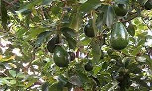 گیاه ماریانا آووکادو چیست.