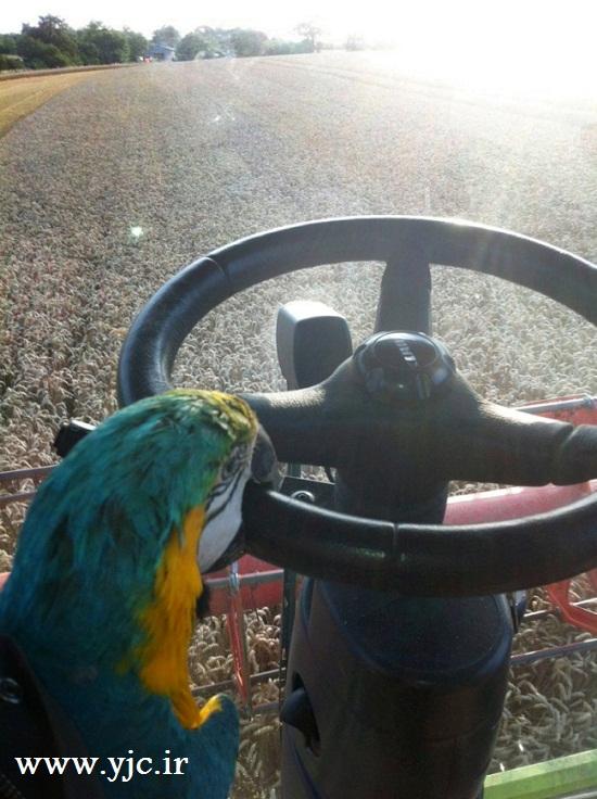 طوطی راننده