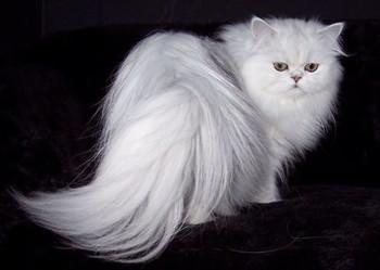 خرید گربه ساوانا