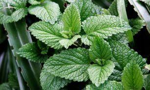 "دو عصاره گیاهی مفید برای ""تقویت حافظه"""