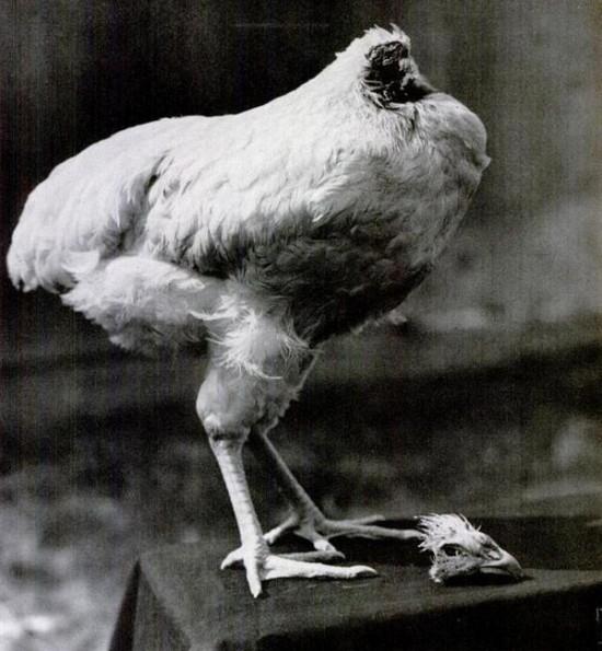 مرغی که بدون سر زنده ماند + تصاویر