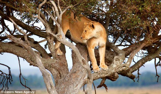 تصویری//وقتی شیرها خیلی خسته میشوند!