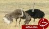 پیش بینی افزایش تولید گوشت شترمرغ در استان فارس، تا پایان امسال