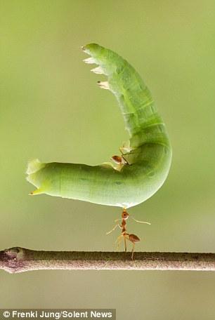 مورچه قدرتمند