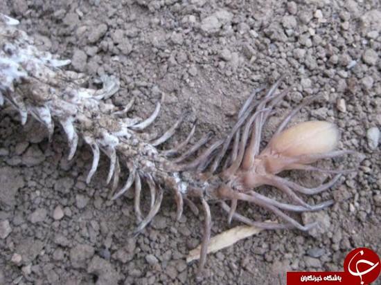 افعی دم عنکبوتی، ترسناک ترین مار دنیا +عکس
