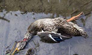 قتلعام پرندگان مهاجر در فریدونکنار