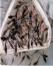 رهاسازی 150 میلیون قطعه بچه ماهی استخوانی در سفیدرود