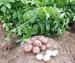 برداشت سیب زمینی از مزارع شهرستان بویین زهرا آغاز شد