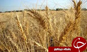 باشگاه خبرنگاران -آغاز خريد تضمينی گندم در استان خوزستان