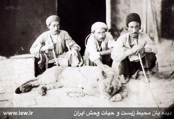 شیرهای ایرانی در راه بازگشت به میهن قرار گرفتند+تصاویر