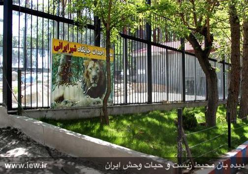 شیرهای ایرانی در راه بازگشت به میهن قرار گرفتند
