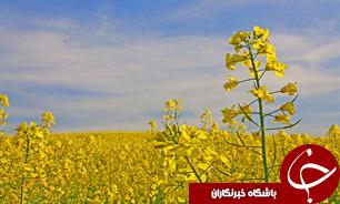 آغازخرید تضمینی کلزا درشهرستان دلگان