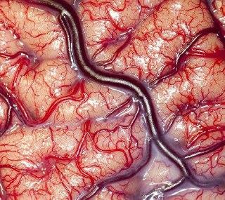 عکس خارقالعاده و نمای نزدیک از مغز زنده انسان