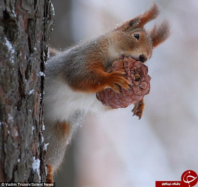 کریسمس سنجاب ها در حیات وحش+تصاویر