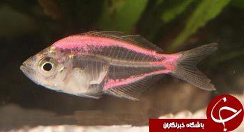 تابه حال ماهی شیشه ای را دیده اید؟+تصاویر