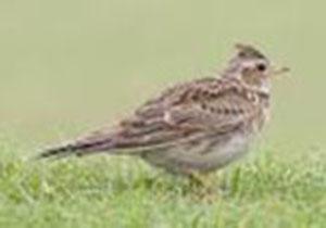 وجود 130 گونه پرنده بومی در بروجرد