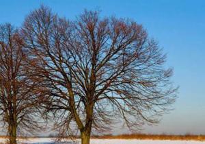 لزوم پیشگیری از آفتاب سوختگی زمستانه درختان ميوه