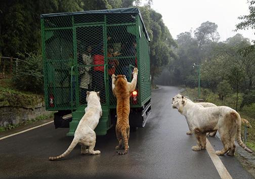 هیجان رانندگی در کنار شیرها و ببرها + تصاویر