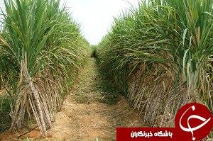 تصفیه شکر برای اولین بار در خوزستان