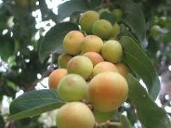 تولید پنج هزارتن میوه گرمسیری کنار