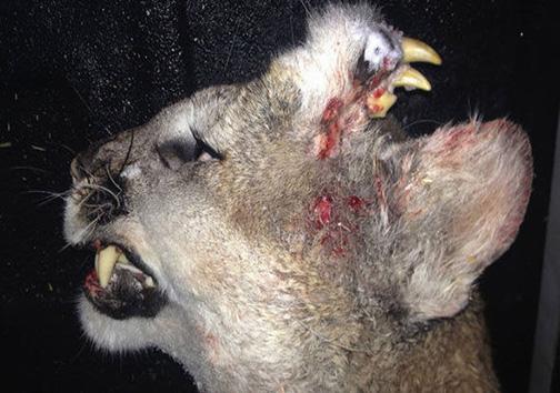 حیوانی که در پیشانیاش دندان میروید! + تصویر