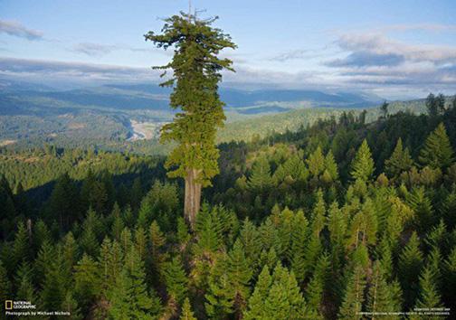تغییر رکورد بلندترین درخت دنیا + تصاویر