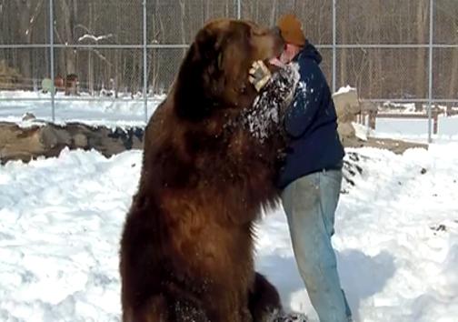 در آغوش کشیدن یک خرس زندهی 800 کیلویی! + تصویر