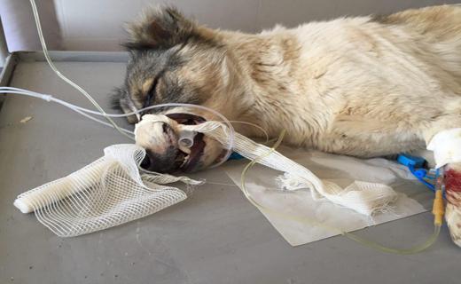 تقبل هزینه های درمانی سگ ولگرد توسط انسان خیر+تصاویر